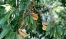 Растения для живой изгороди: миндаль