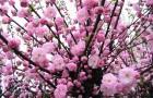 Растения для живой изгороди: миндаль Петунникова