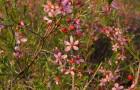 Растения для живой изгороди: миндаль низкий, степной