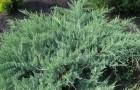 Растения для живой изгороди: можжевельник виргинский