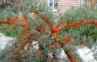 Растения для живой изгороди: облепиха крушиновидная