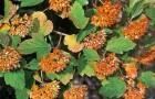 Растения для живой изгороди: пузыреплодник