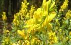 Растения для живой изгороди: ракитник русский