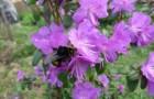 Растения для живой изгороди: рододендрон Ледебура