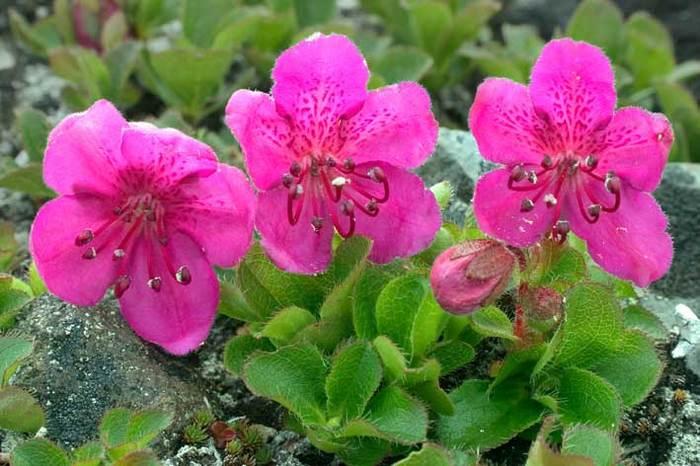 Растения для живой изгороди: рододендрон камчатский