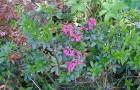 Растения для живой изгороди: рододендрон ржавый