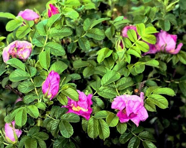 Растения для живой изгороди: роза собачья, обыкновенная