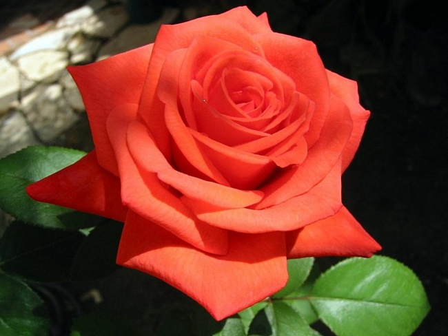 Растения для живой изгороди: роза