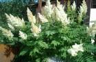 Растения для живой изгороди: рябинник рябинолистный