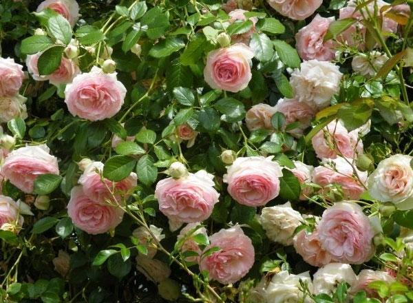 Растения для живой изгороди: садовые группы роз