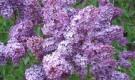 Растения для живой изгороди: сирень обыкновенная