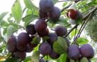 Растения для живой изгороди: слива