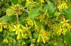 Растения для живой изгороди: смородина золотистая