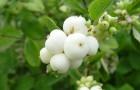 Растения для живой изгороди: снежноягодник белый