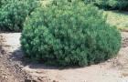 Растения для живой изгороди: сосна горная карликовая