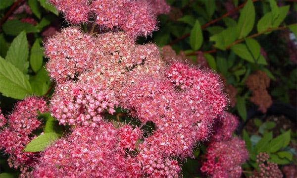 Растения для живой изгороди: спирея Бумальда