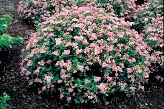 Растения для живой изгороди: спирея японская
