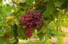 Растения для живой изгороди: виноград