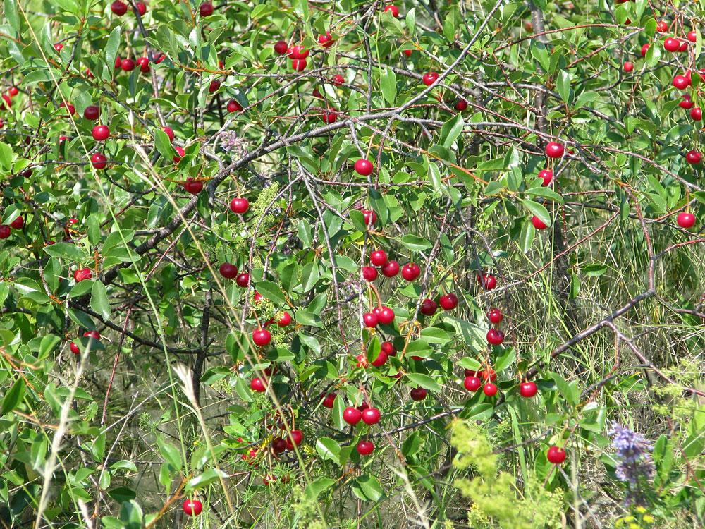 Растения для живой изгороди: вишня кустарниковая, степная