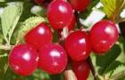 Растения для живой изгороди: вишня, микровишня