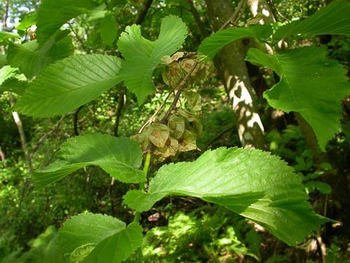 Растения для живой изгороди: вяз, ильм