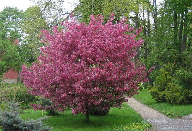 Растения для живой изгороди: яблоня Недзвецкого