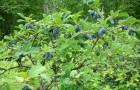 Растения для живой изгороди: жимолость