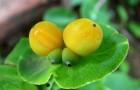 Растения для живой изгороди: жимолость каприфоль, душистая, козья
