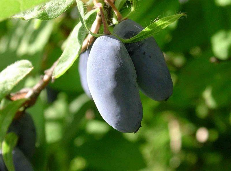Растения для живой изгороди: жимолость синяя