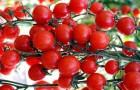 Сорт томата: Райская конфетка f1
