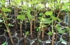 Размножение лиан вегетативным способом