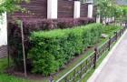 Размножение семенами растений для живой изгороди