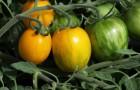 Сорт томата: Рэмбо