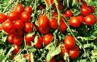Сорт томата: Рэпид f1