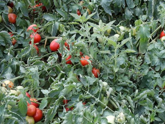 Сорт томата: Ред скай   f1