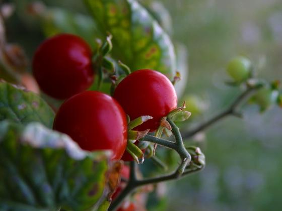 Сорт томата: Революшн   f1