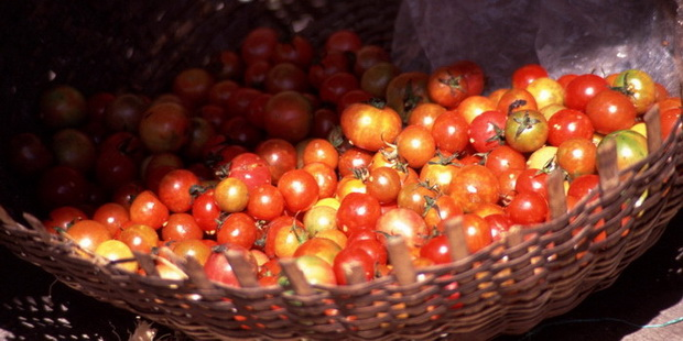Сорт томата: Ригонда   f1