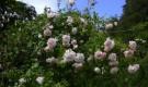 Роза Вихуриана