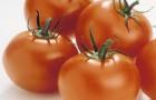 Сорт томата: Розамарин f1