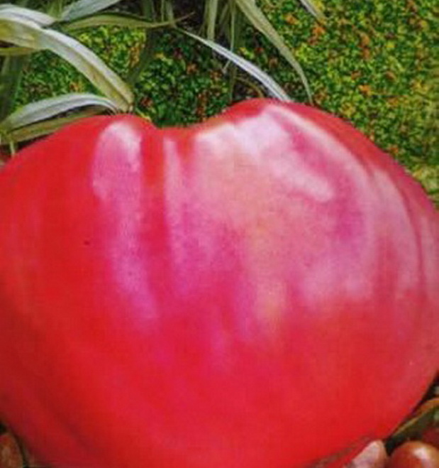 Сорт томата: Розовый мед