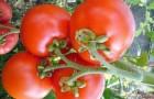 Сорт томата: Русский стиль f1