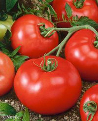 Сорт томата: Рюрик   f1
