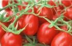 Сорт томата: Шарада