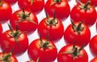 Сорт томата: Шерами f1