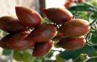 Сорт томата: Шоколадка f1