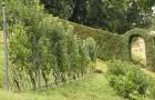 Шпалерные изгороди: Бельгийская шпалера