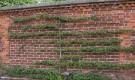 Шпалерные изгороди: Монтрейская пальметта