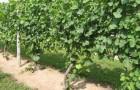 Шпалерные изгороди: двуплечий горизонтальный кордон