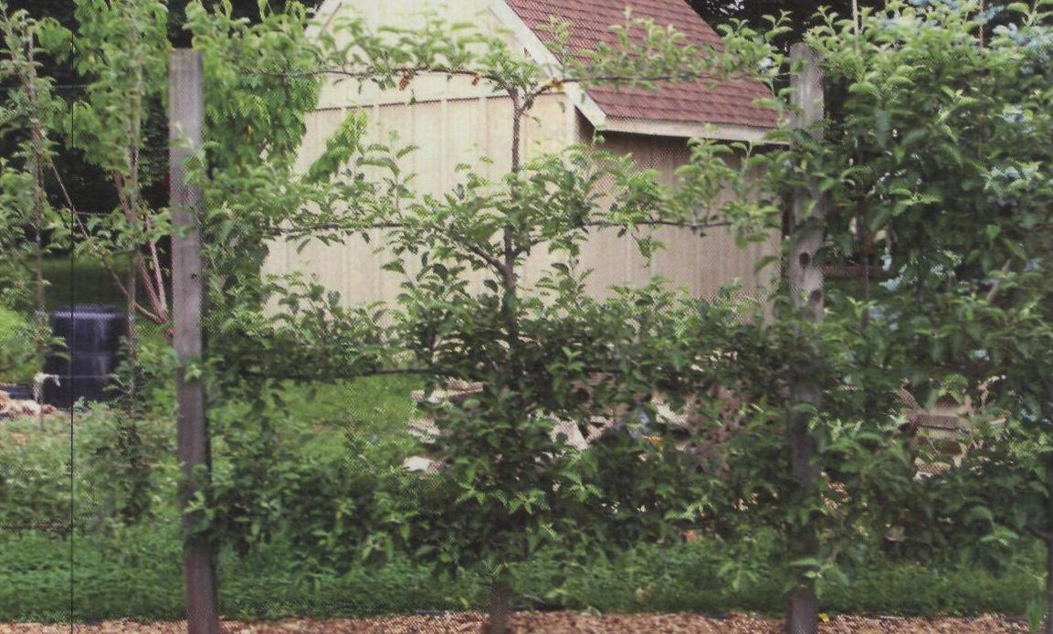 Шпалерные изгороди: канделябровая пальметта