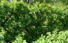 Шпалерные изгороди: сетчатый кордон
